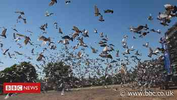 Coronavirus: Pigeon racing first sport to return after lockdown