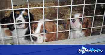 Dog welfare bill aims to curb puppy farms in Scotland - STV News
