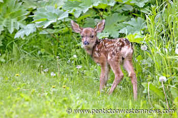 WildSafeBC: What to do when you find a fawn – Penticton Western News - Pentiction Western News