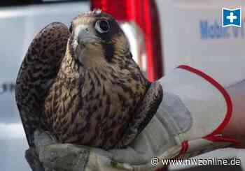 Vogelbeobachtung In Jever: Finden sich Adoptiveltern für jungen Falke? - Nordwest-Zeitung