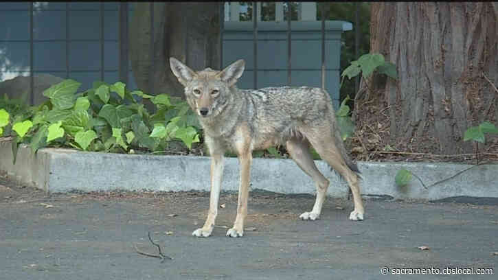 Neighbors Have Mixed Reactions To Family Of Coyotes In Midtown Neighborhood