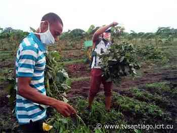 Avanza Santiago de Cuba en siembra de primavera | | tvsantiago - El sitio web de la televisión en Santiago de Cuba