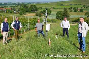 Die Batzenberg-Winzer haben jetzt eine eigene Wetterstation - Ehrenkirchen - Badische Zeitung