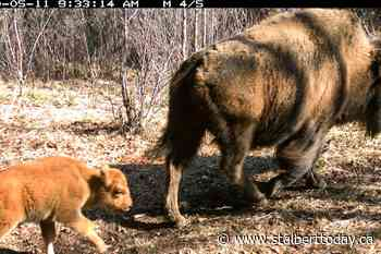 Ten bison babies bring Banff's population to 45 - St. Albert Today