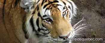 Réouverture du Zoo sauvage de Saint-Félicien d'ici le 20 juin