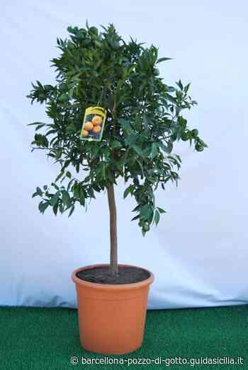 Mandarino alberello vaso Ø 36 cm. - Barcellona Pozzo di Gotto (Messina) - Guidasicilia.it