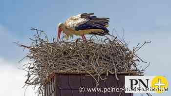 Ein zweites Storchennest für die Ortschaft Vechelde - Peiner Nachrichten