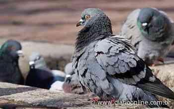 Veja cinco dicas para afastar os pombos do telhado da sua casa - Diário Online