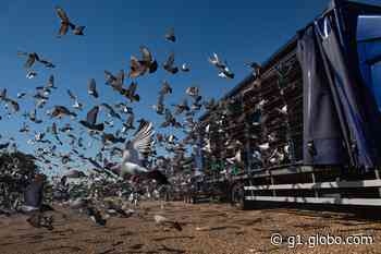 Corrida de pombos é 1º esporte a ser retomado na Inglaterra - G1
