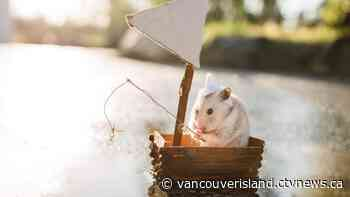 Duncan mother, daughter create hamster photo adventures amid pandemic - CTV News VI