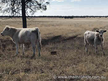 Steers stolen from property west of Toowoomba - Chronicle