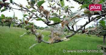 Ginsheim-Gustavsburg: Motten setzen Obstbäumen zu - Echo Online