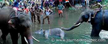 L'Inde choquée par l'agonie d'une éléphante sauvage