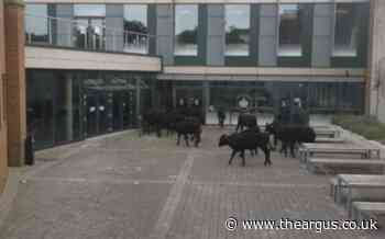 Cows invade University of Sussex campus