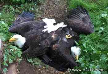 Tangled bald eagles separated and freed in Tsawwassen - BC News - Castanet.net