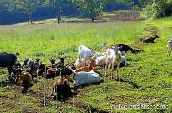 Hier übernehmen Ziegen das Rasenmähen - GZ Live