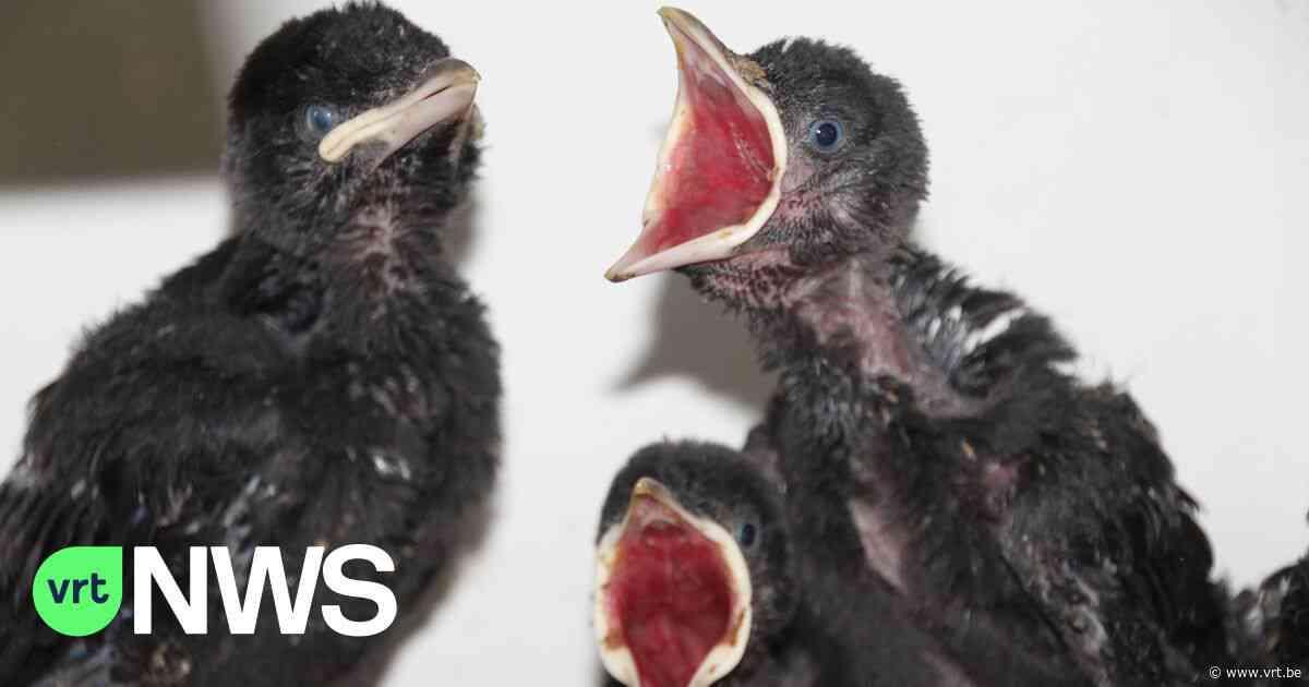 """Opvangcentrum Merelbeke overspoeld door bezorgde telefoontjes: """"Laat jonge vogels gewoon zitten en hou je kat binnen"""" - VRT NWS"""