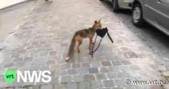 """Opvallende beelden: vos steelt op klaarlichte dag handtas uit garage in Vorst: """"Er zat nochtans geen eten in"""" - VRT NWS"""