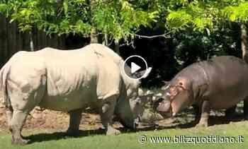 Bussolengo, al Parco Natura Viva il giovane ippopotamo morde il corno del vechio rinoceronte... - Blitz quotidiano