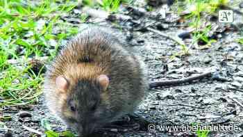 Rattenplage in großem Wohnkomplex in Glinde – Bewohner sauer - Hamburger Abendblatt