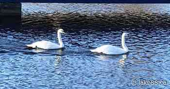 New Swans in Smiths Falls now have names - lake88.ca