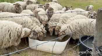 Dorstige schapen krijgen water van jonge boeren, herder krijgt boete - Het Belang van Limburg