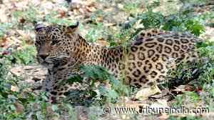 Leopard attacks six people, including forest guard, in UP's Lakhimpur - The Tribune India