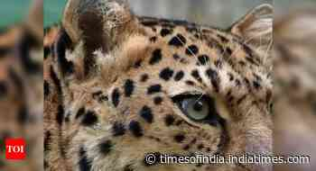 Leopard keeps foresters, villagers on high alert near Sathyamangalam forest - Times of India