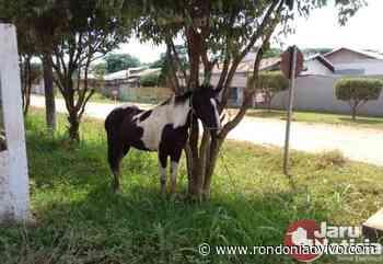 JARU: Polícia recupera dois cavalos furtados por adolescentes em chácara - Rondoniaovivo