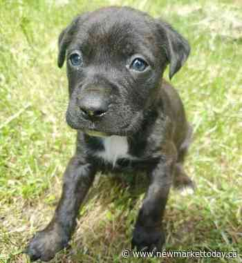 2 Newmarket teens, Aurora man charged following theft of puppies - NewmarketToday.ca