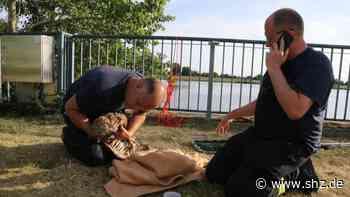 Geesthacht: Uhu-Junges ertrinkt trotz Rettungsaktion in der Elbe   shz.de - shz.de