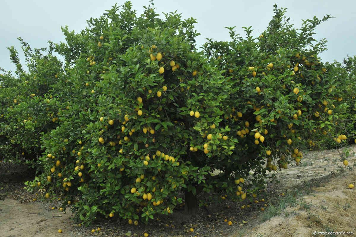 Los citricultores recibieron 232% más por el limón y 224% más por la naranja en abril debido a la alta demanda por el Covid-19 - Agrodiario