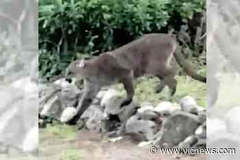 VIDEO: View Royal resident spots cougar in nearby backyard - Victoria News