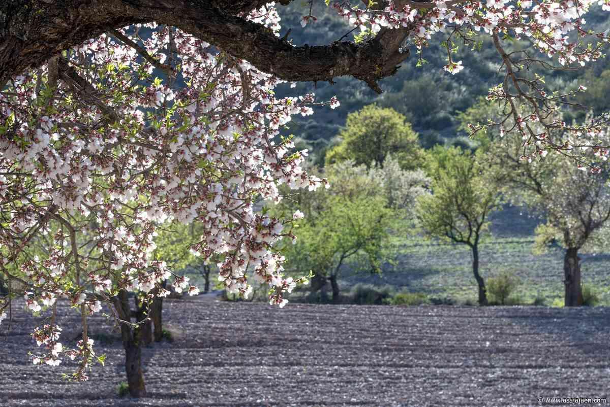 La almendricultura como alternativa y complemento al olivar - asajajaen.com