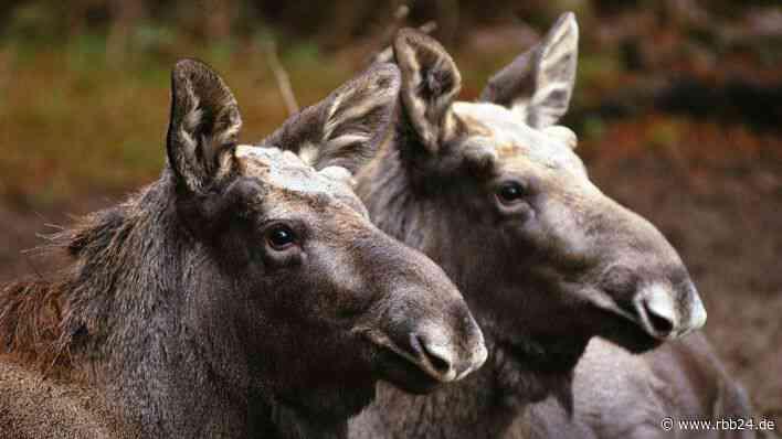 Elch-Zwillinge im Wildpark Schorfheide sind gestorben - Todesursache noch unklar - rbb-online.de