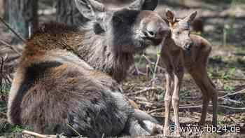 Nachwuchs im Barnim: Wildpark Schorfheide freut sich über Elch-Zwillinge - rbb-online.de