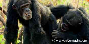 """Qu'est ce qu'on regarde à la télé ce samedi soir? """"Chimpanzés, le combat des chefs"""""""
