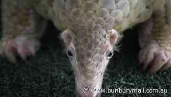 Pangolin given highest protection in China - Bunbury Mail