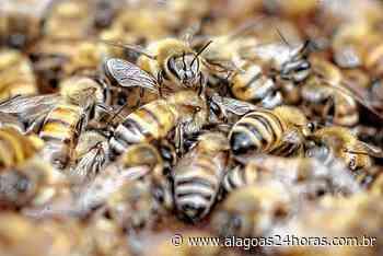 Bombeiros registram ataque de abelhas em panificação na cidade de Maragogi - Alagoas 24 Horas