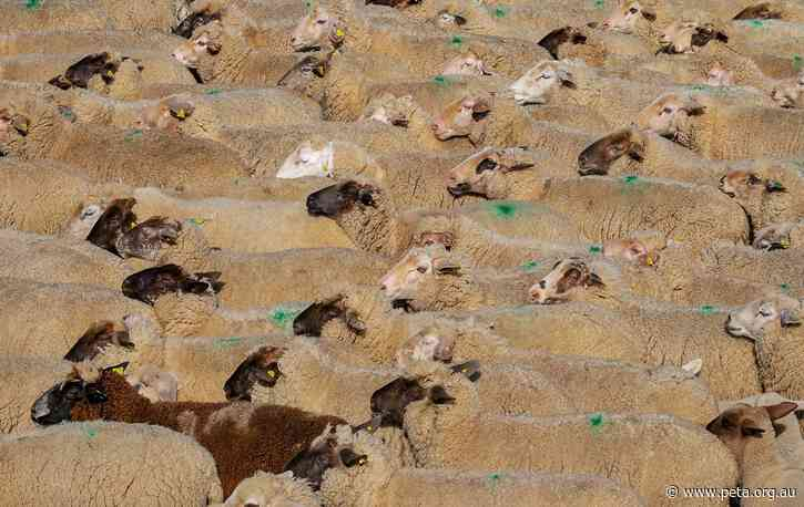 56,000 Sheep Spared Live-Export Journey to the Middle East