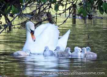 Cygnets and swans crowd West Vancouver pond - Vancouver Is Awesome