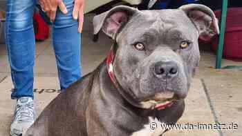 """Hund aus Tierheim gestohlen: Wo ist Staffordshire Bullterrier """"Bobby"""" aus Butzbach? - DA-imNetz.de"""