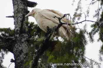 Iconic white raven spotted in area north of Nanaimo