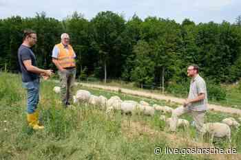 Schafe grasen an Mülldeponie Morgenstern - GZ Live