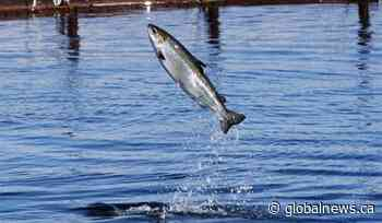 N.B. group concerned with salmon numbers in Miramichi River - Globalnews.ca