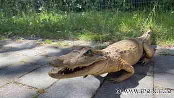 Spaziergänger fängt Alligator aus der Isar bei Ismaning | Ismaning - Merkur.de