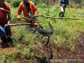 Encuentran a un cocodrilo en un terreno de Tixkokob - El Diario de Yucatán