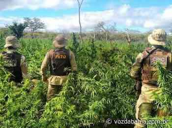 Campo Formoso: Polícia erradica 16 toneladas de maconha em intervalo de 12 horas - Voz da Bahia