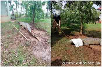 Capturan enorme lagarto de cuatro metros en Guararé - Crítica