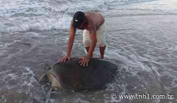 Tartarugas marinhas aparecem em Maragogi, Piaçabuçu e Maceió neste domingo - TNH1